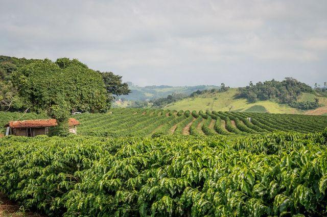 fresh coffee beans farmers brazil bean australia