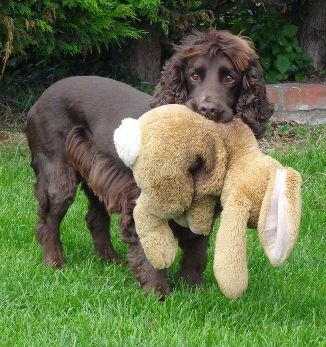 Dog carrying a teddy bear