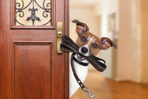 cane di razza jack russell terrier con un  guinzaglio in bocca