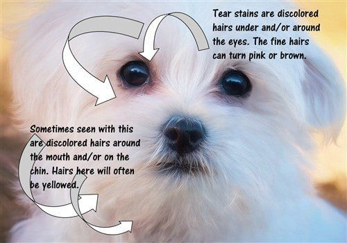 Maltese Tear Stains Exactly How To Prevent And Remove