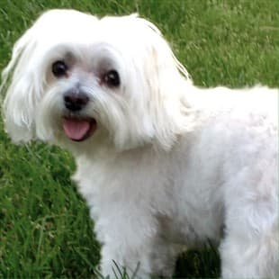 Care Tips for Senior Maltese Dogs