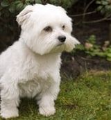 Maltese Dog, adult, outside on grass