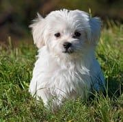 small white Maltese puppy