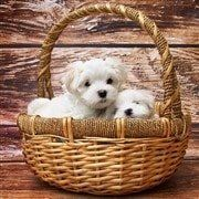 Maltese puppies in basket