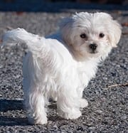 Small white Maltese dog walking