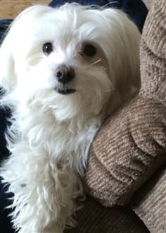 8 year old male Maltese dog