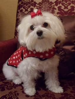 9 year old female Maltese