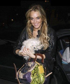 Maltese-dog-owned-by-Lindsay-Lohan