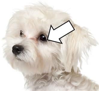 Maltese Dog Black Points and Halos