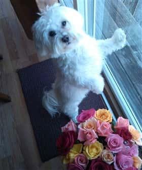 Maltese dog near dog with flowers