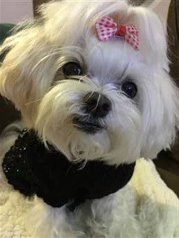 Senior Maltese dog, female