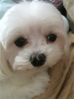 close-up-of-maltese