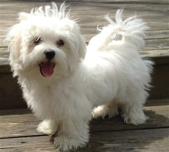 Should I Get A Maltese How To Know If A Maltese Is Right