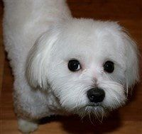 cute-maltese-dog-big-eyes