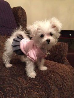 female-maltese-dog-on-chair-wearing-dress