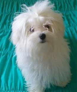 Fluffy maltese dog, aqua color background
