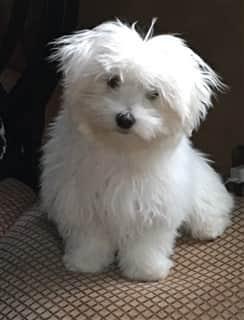 Fluffy Maltese dog
