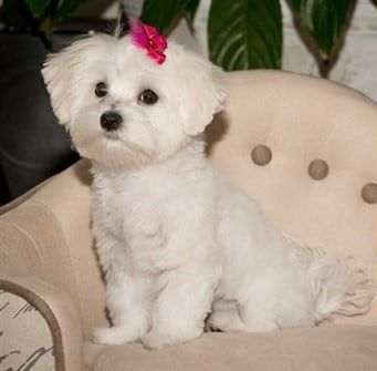 Maltese Common Health Issues and Breed Specific Conditions
