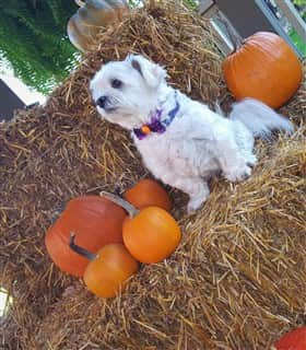 Maltese in autumn, posing with pumpkins