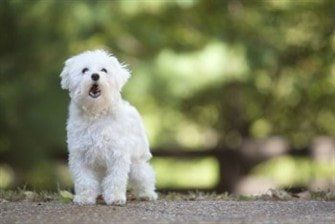 maltese barking maltese puppy and dog barking problems 4781