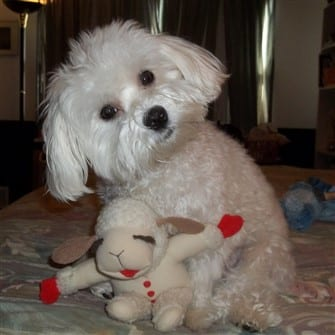 solid-white-maltese-dog