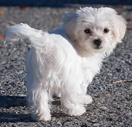 Maltese-dog-walking-on-road