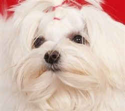 Maltese dog, red background