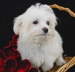 Maltese puppy white coat