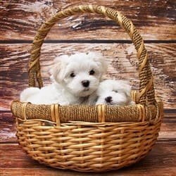maltese-dog-in-basket