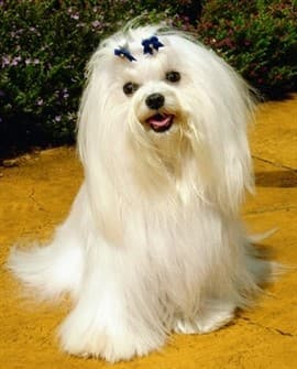 maltese dog. maltese behavior dog