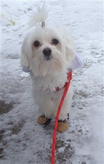 maltese-dog-outside-in-snow