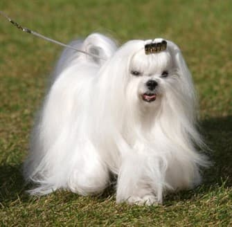 maltese-dog-outside-on-grass