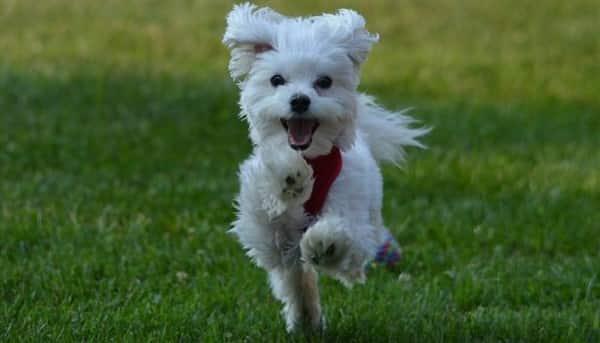 pure white Maltese dog
