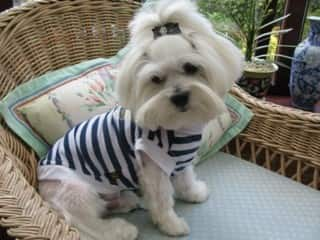 Image result for maltese in summer clothes