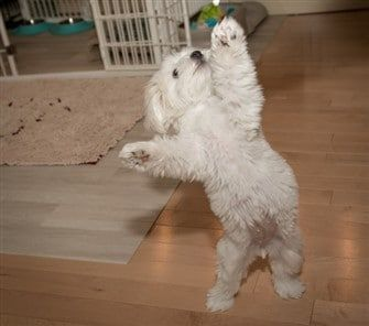 maltese-dog-standing-on-hind-feet