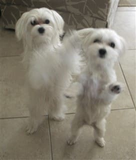 Maltese dogs standing on their hind legs