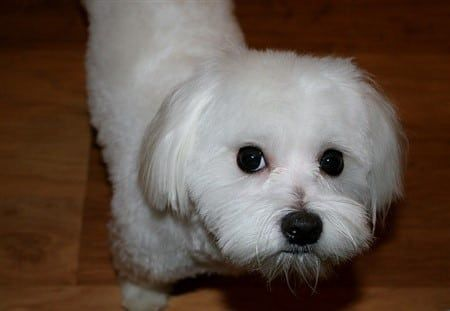 maltese-face-color-nose-halo