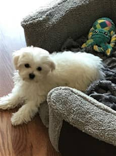 Maltese Paw Issues Itching Licking And Biting The Paws