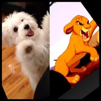 maltese-jumping-up-compared-to-lion