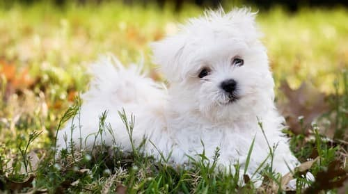 Maltese Puppy Care Raising A Happy Healthy Puppy