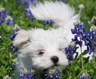 Maltese Names | Cute and Fitting Names for Maltese Puppies
