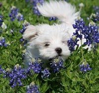 maltese-puppy-running-in-lavender-field