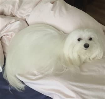 maltese-resting-on-bed