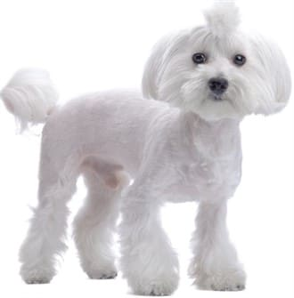 Cute maltese hair cuts and styles maltese shaved coat with flares winobraniefo Image collections