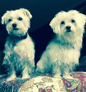 Maltese siblings