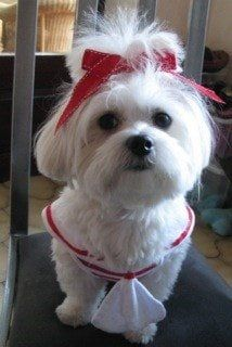 How to Properly Groom a Maltese Puppy or Dog