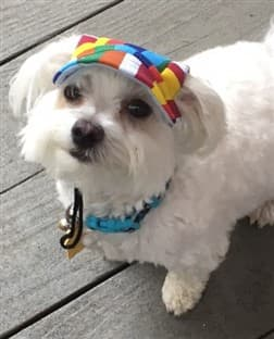 Maltese dog wearing a colorful hat