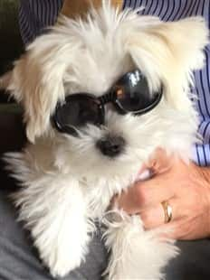 Maltese wearing sunglasses