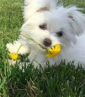 maltese-with-dandelion