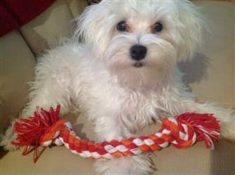 maltese-with-rope-toy